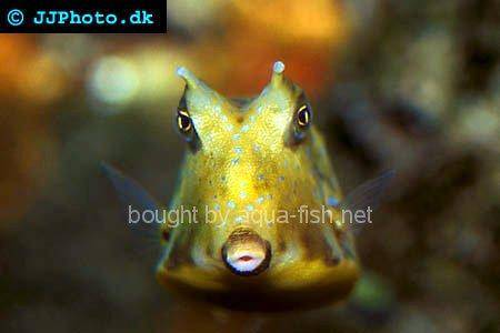 Longhorn Cowfish picture no. 2