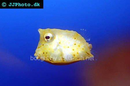 Longhorn Cowfish picture no. 3