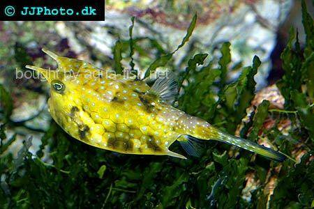 Longhorn Cowfish picture no. 4