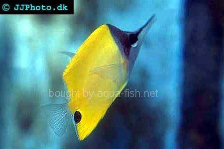 Longnose Butterflyfish picture