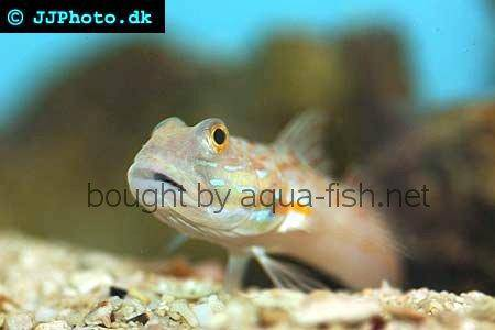 Maiden Goby picture no. 1