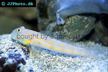 Maiden Goby picture no. 2