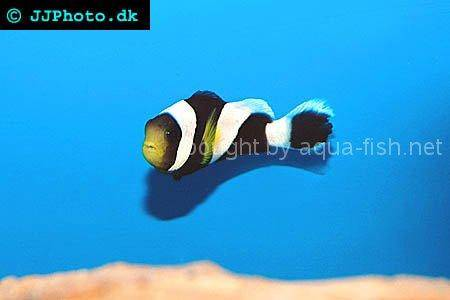 Mauritian Anemonefish picture