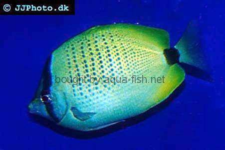 Millet Butterflyfish picture