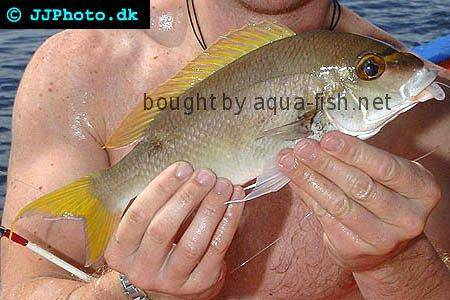 Monogrammed Monocle Bream picture
