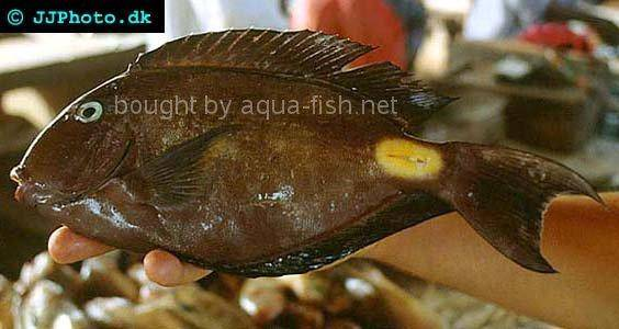 Monrovia Doctorfish picture