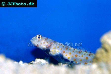 Orange-Spotted Sand Goby picture