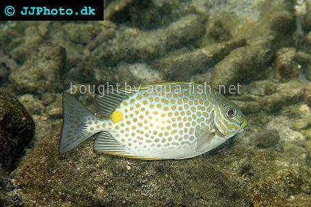Orange-Spotted Spinefoot picture 1