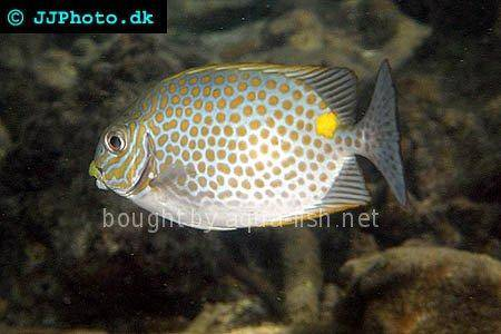 Orange-Spotted Spinefoot picture 2