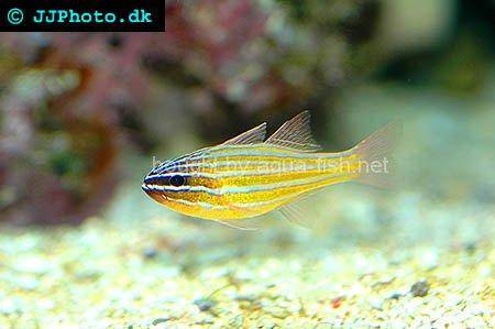 Red Striped Cardinalfish