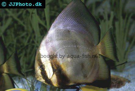 Orbicular Batfish, adult specimen picture