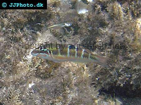 Ornate Wrasse picture 1