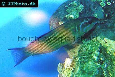 Ornate Wrasse picture 2