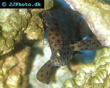 Panther Grouper picture no. 5