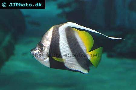 Pennant Coralfish picture 2