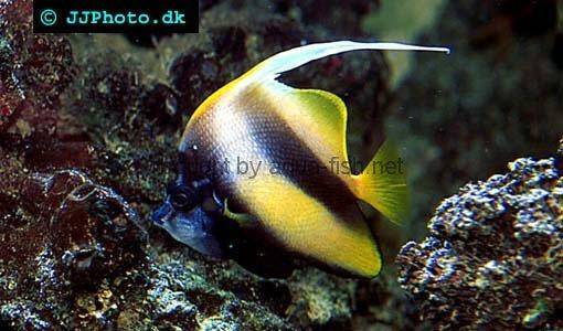 Pennant Coralfish picture 3