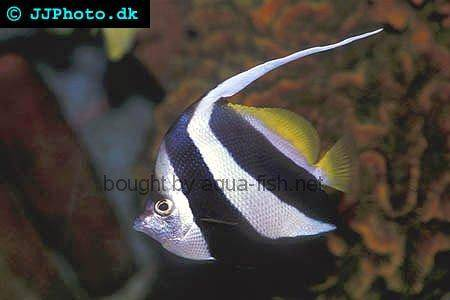 Pennant Coralfish picture 4
