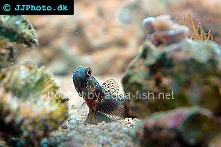 Periophthalma Prawn-Goby, picture number 1