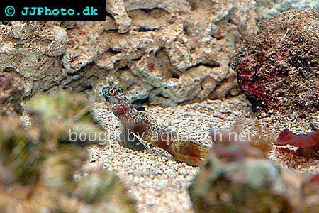 Periophthalma Prawn-Goby, picture number 2
