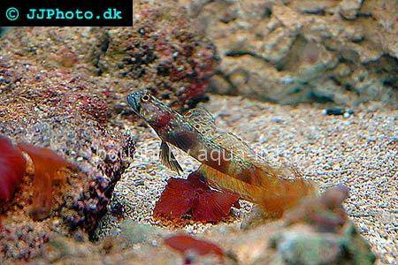 Periophthalma Prawn-Goby, picture number 3
