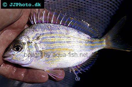 Pinfish picture