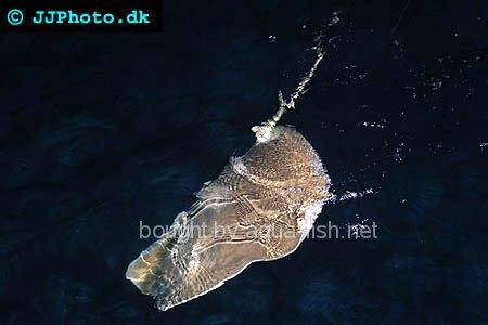 Pointed-Nose Stingray picture