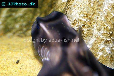 Port Jackson Shark picture