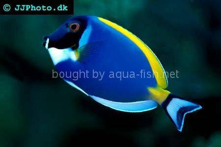 Powder blue tang, picture number 1