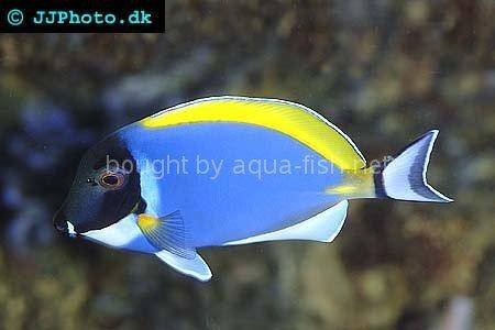 Powder blue tang, picture number 4