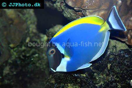 Powder blue tang, picture number 5