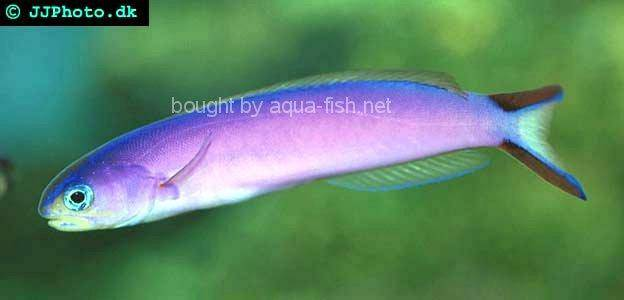 Purple Tilefish Goby picture