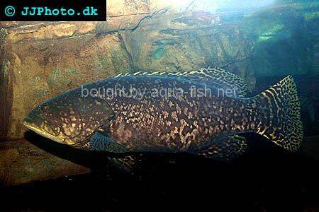 Queensland Grouper picture no. 3; adult specimen
