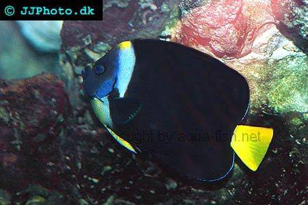 Queensland Yellowtail Angelfish picture