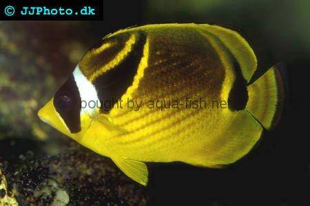 Raccoon Butterflyfish picture no. 1