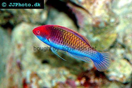 Rainbow Fairy Wrasse, picture no. 1