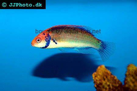 Rainbow Fairy Wrasse, picture no. 2