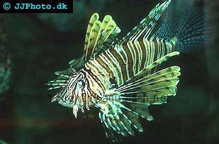 Red Lionfish picture no. 1