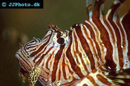 Red Lionfish picture no. 2