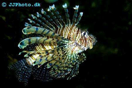 Red Lionfish picture no. 3