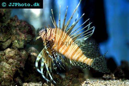 Red Lionfish picture no. 5