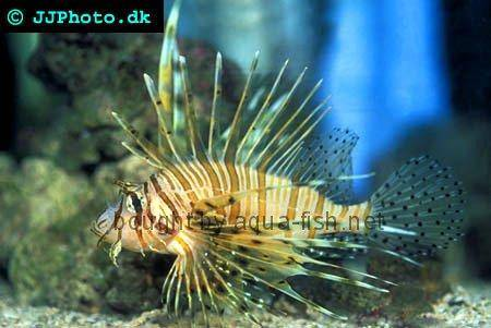 Red Lionfish picture no. 6