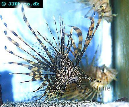 Red Lionfish picture no. 8