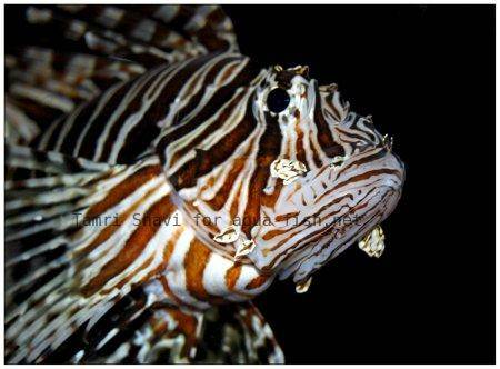 Red Lionfish picture no. 9