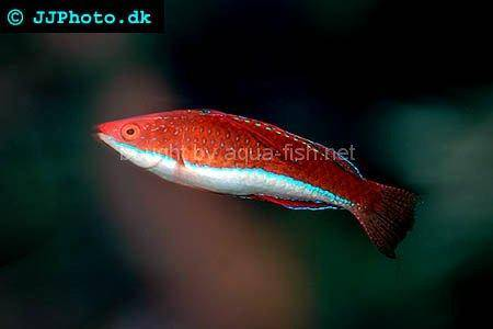 Red Parrot Fairy Wrasse picture