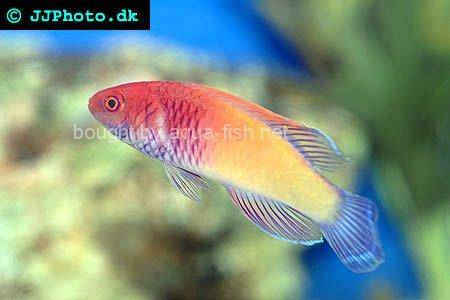 Red Velvet Wrasse picture