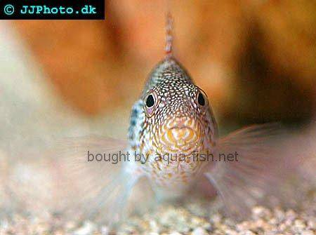 Redbarred Hawkfish picture no. 1