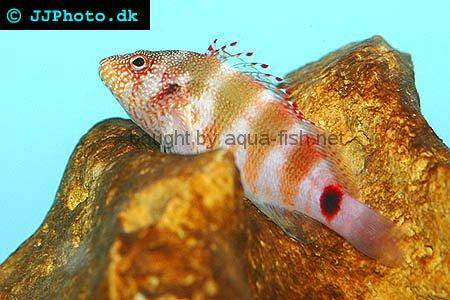 Redbarred Hawkfish picture no. 2