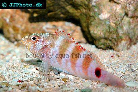 Redbarred Hawkfish picture no. 3