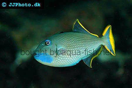 Redtail Triggerfish picture 1