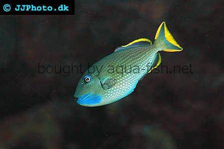 Redtail Triggerfish picture 2